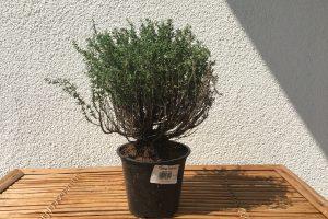 Thymian bonsai