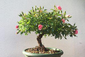 Rosen Bonsai