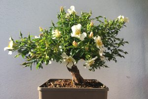 Rose als Bonsai