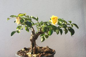 Rose Bonsai blühend