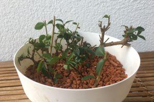 Bonsai Stecklinge