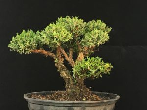 Thymus Bonsai