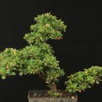 cotoneaster microphyllus Bonsai