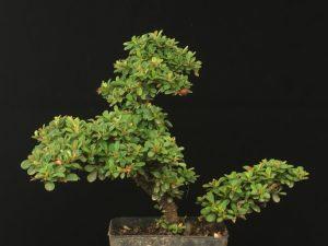 Cotoneaster Bonsai microphyllus