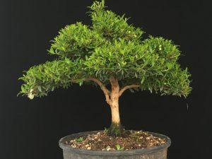 Myrte Bonsai