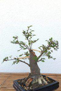 Bonsai Chinesische Ulme
