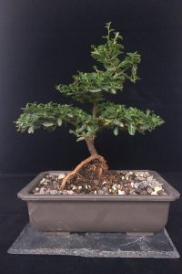 Bonsai Kalifornischer Flieder