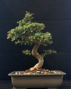 Bonsai kaufen Cotoneaster