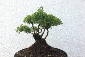 Spiraea Little Princess Bonsai