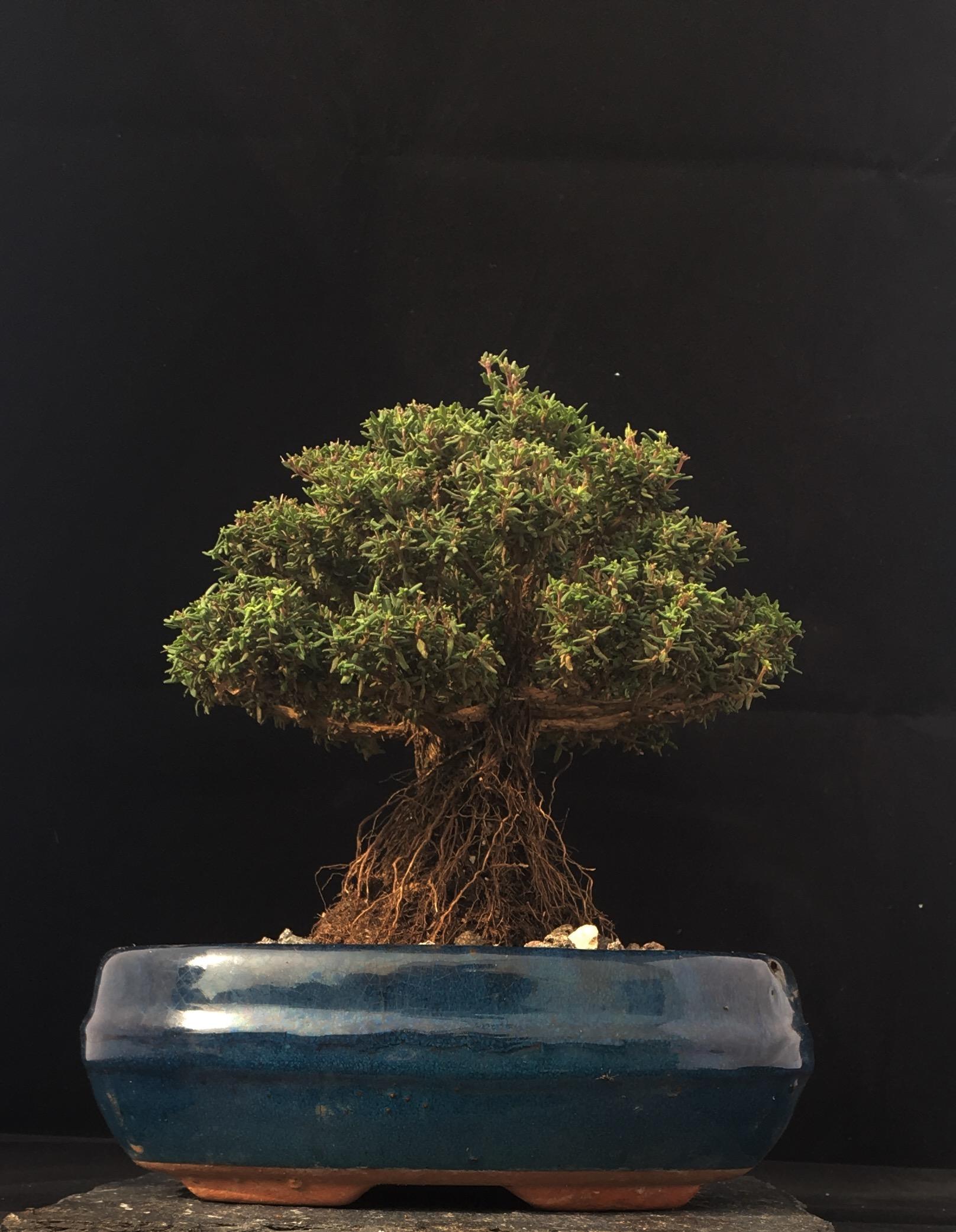 Thymian Shohin Bonsai Faustini