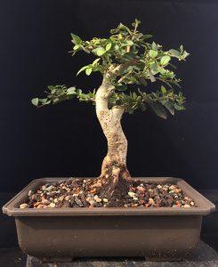 Bonsai Liguster