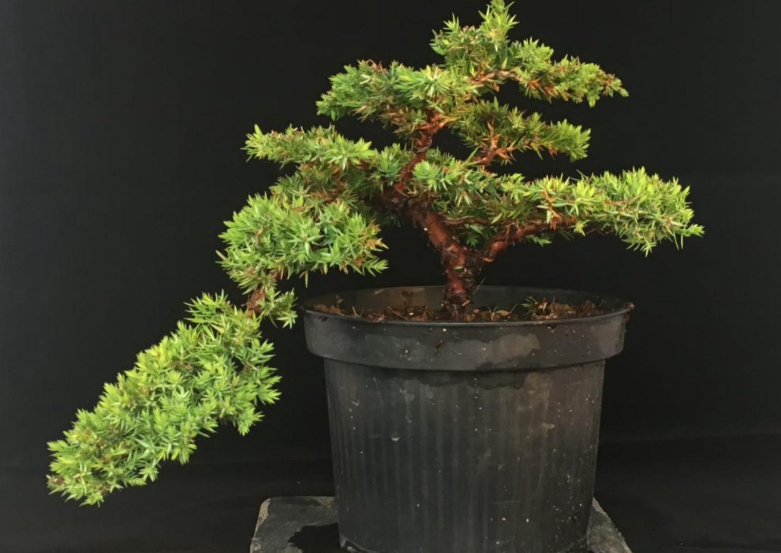 Wacholder Bonsai Juniperus