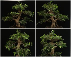 Bonsai Ficus Tiger Bark