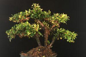 Cotoneaster Bonsai Shohin