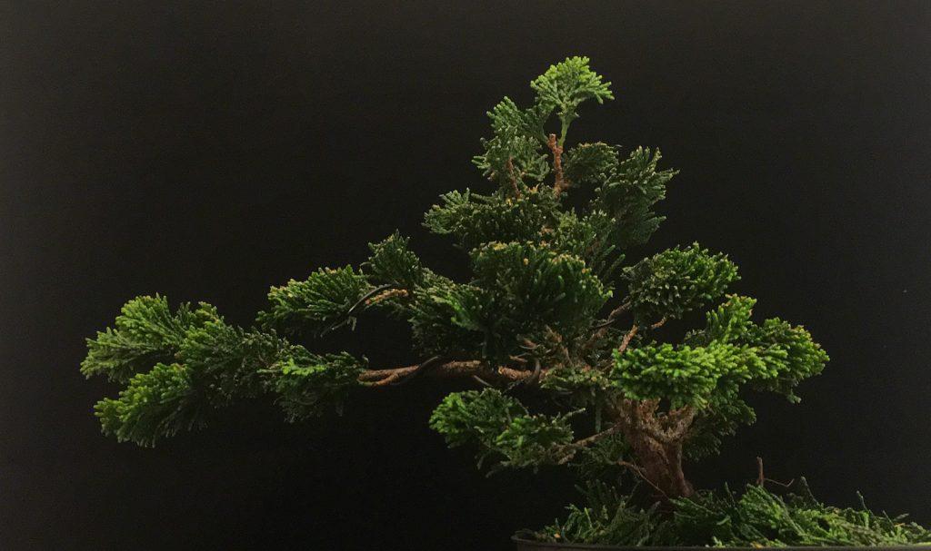 Muschelzypresse Bonsai – Hinoki-Scheinzypresse – Zwerg-Muschel-Zypresse Nana Gracilis