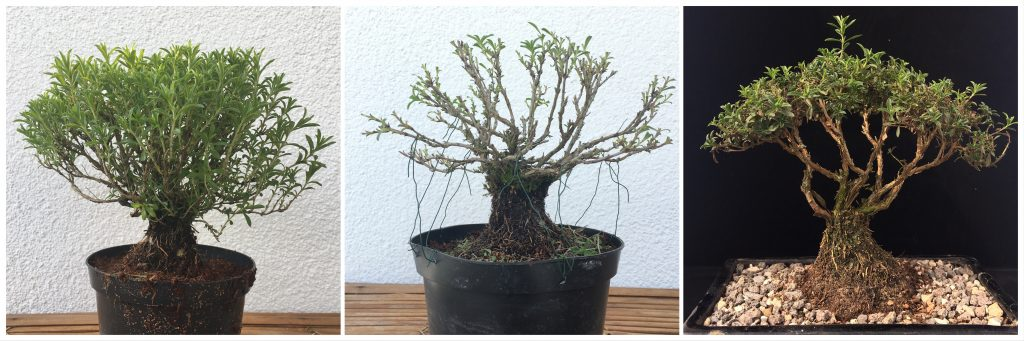 Bergbohnenkraut Bonsai Satureja montana Bonsai