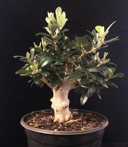 Bonsai Olive als Baum