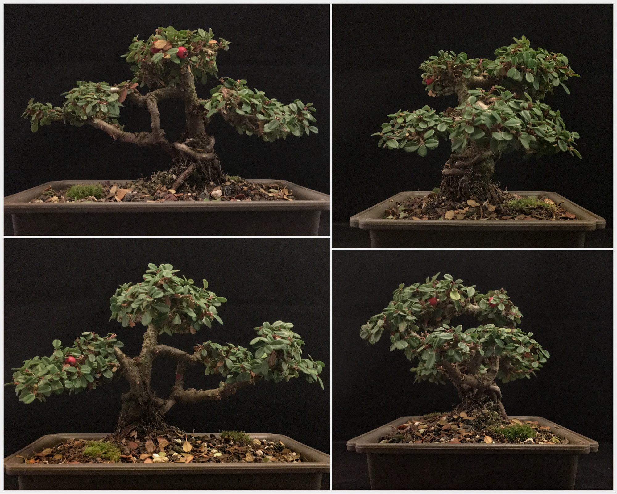 Cotoneaster Bonsai Verkauf