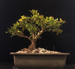 Zwerg Granatapfel Bonsai