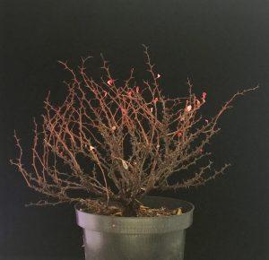 Berberitze Bonsai blutberitze