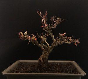 Berberitze Bonsai