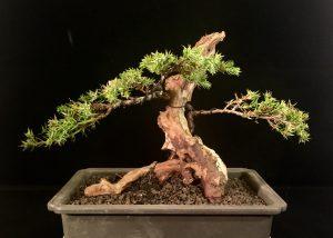 Juniperus Totholz Bonsai