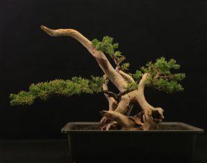 Moorkienholz Als Totholz