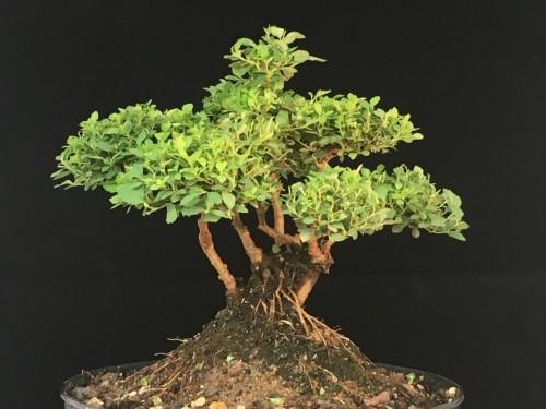 Spiraea Bonsai