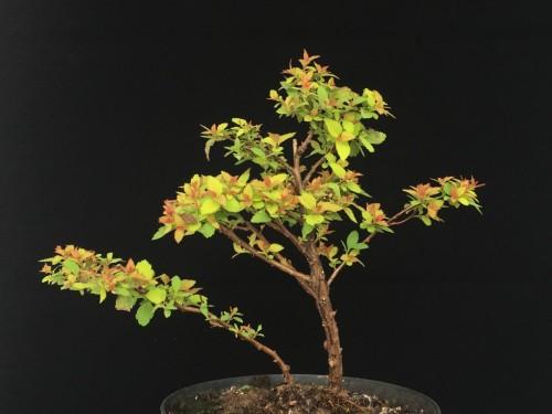Spiraea Goldflame Bonsai