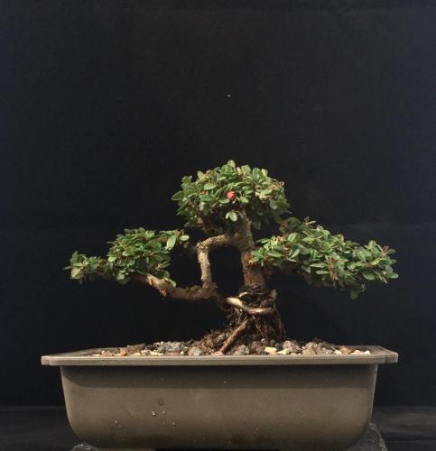 Cotoneaster bonsai