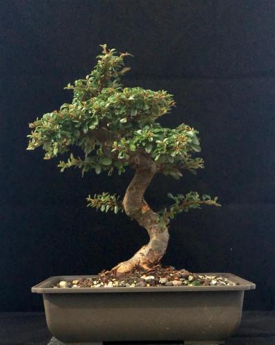 Cotoneaster Prebonsai