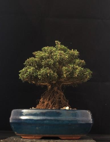 Thymian Shohin Bonsai